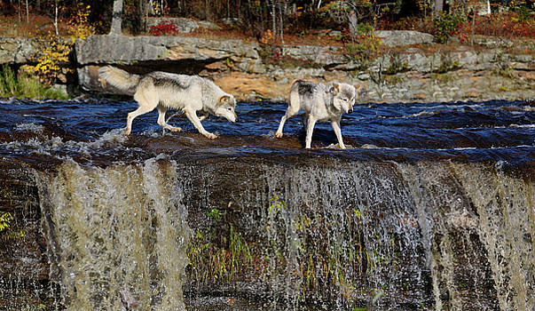 Reimar Gaertner - Wolves looking over the edge of a waterfall on the Kettle River