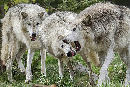 Wolves Playing by Wesley Aston