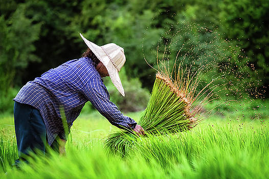 Woman Transplanting Rice by Lee Craker