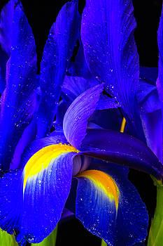 Wonderful Blue Iris Flowers by Garry Gay
