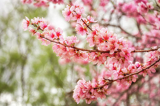 Wonderful Pink Cherry Blossoms at Floriade by Daniela Constantinescu