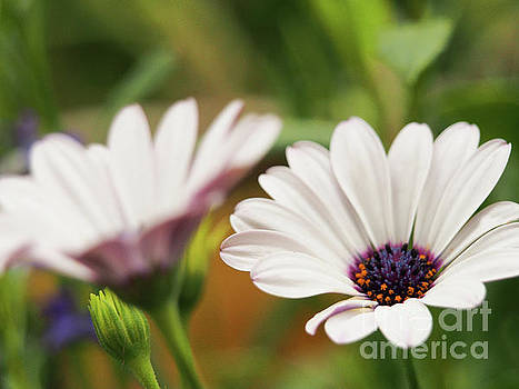 Wonderful White Soprano African Daisies by Dorothy Lee