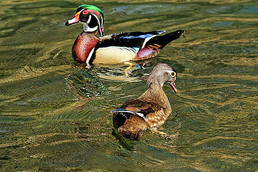 Wood duck couple by Geraldine Scull