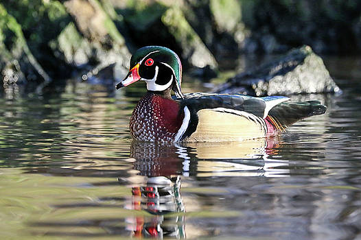 Wood Duck by Jim Nelson