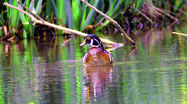 Kathy Kelly - Wood Duck Looking Left