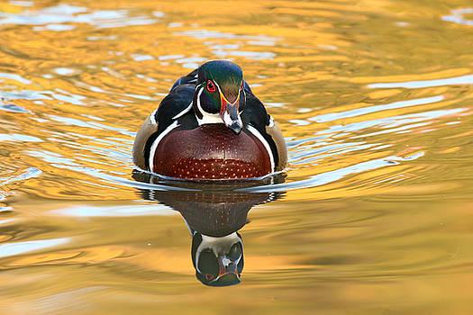 Wood duck on autumn pond by Doris Dumrauf