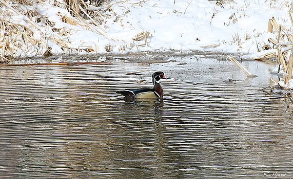 Wood Duck on Rio by Ron Monsour