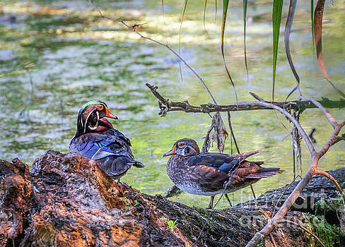 Wood Duck Pair by Edie Ann Mendenhall