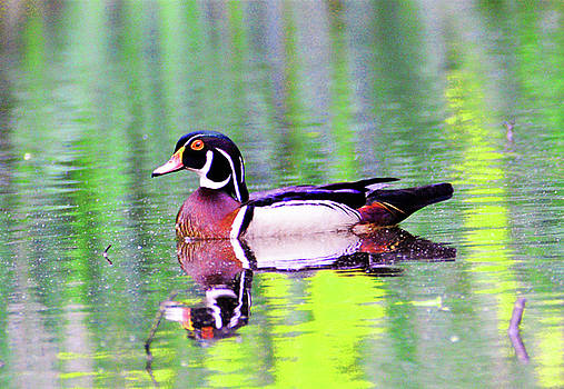 Wood Duck Reflection by Kathy Kelly