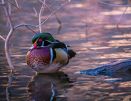 Wood Duck Resting by Bryan Carter