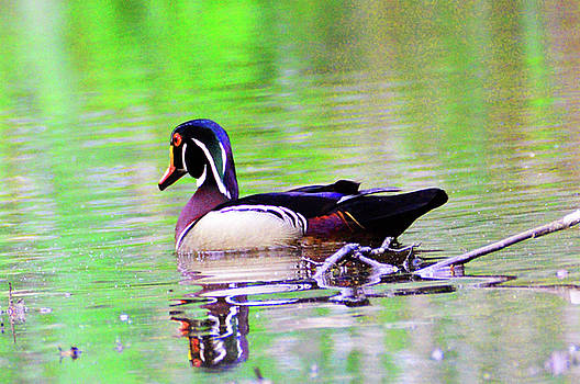 Kathy Kelly - Wood Duck Sail Away