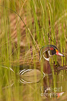 Wood Duck Under Cover by Natural Focal Point Photography