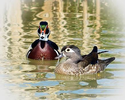 Wood Ducks by Laurie Winn Adams