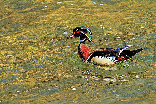 Wood ducks new series by Geraldine Scull