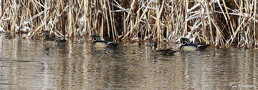 Wood Ducks on Rio by Ron Monsour