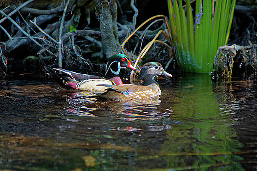 Wood Ducks Pair by Sally Weigand
