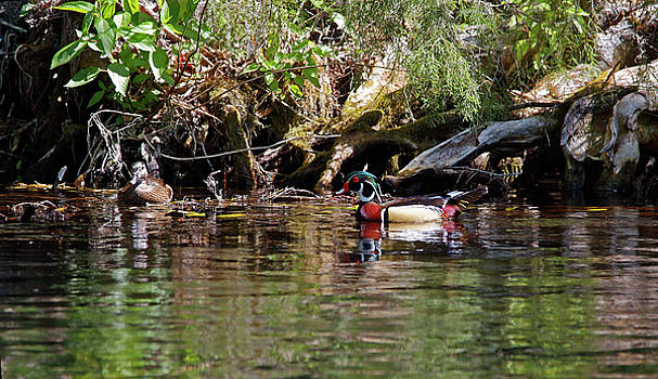 Wood Ducks Swimming by Sally Weigand
