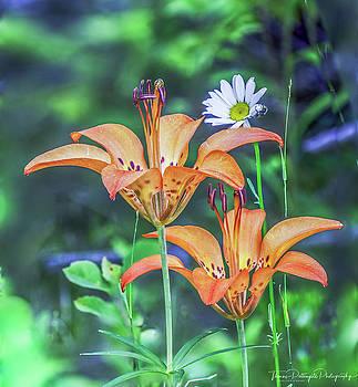 Wood Lilies by Thomas Pettengill