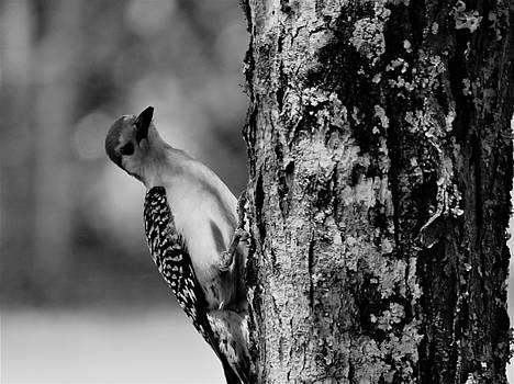 Wood Pecker by Mario Carta