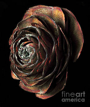 Wood Rose by Russ Brown