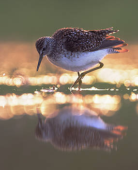 Wood sandpiper in the evening by Sergey Ryzhkov