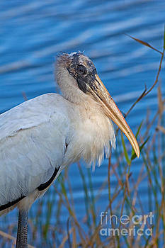 Wood Stork in Florida by Natural Focal Point Photography