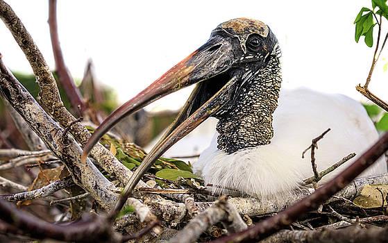 Wood Stork by Jim Gillen
