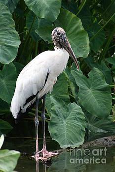 Wood Stork by Lynn Jackson