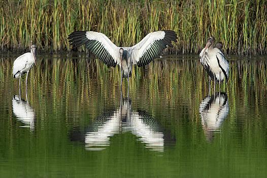 Wood Stork preaching by George DeCamp
