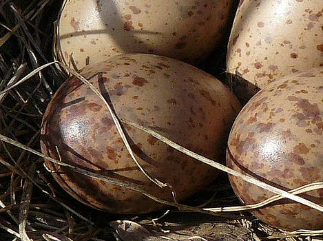 Woodcock Eggs by Susan Olga Linville
