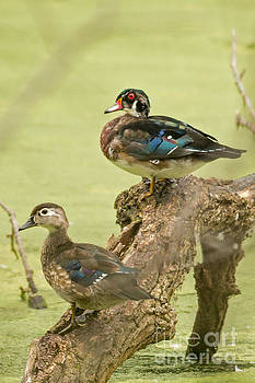 Woodduck Going Into Fall by Natural Focal Point Photography