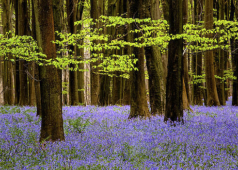 Woodland Bluebells by Kelvin Trundle
