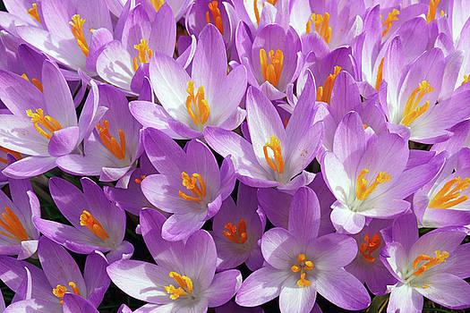 Woodland crocus flowers by Nick Kurzenko