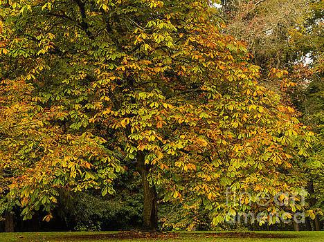 Autumn Elm  by Tracy Knauer