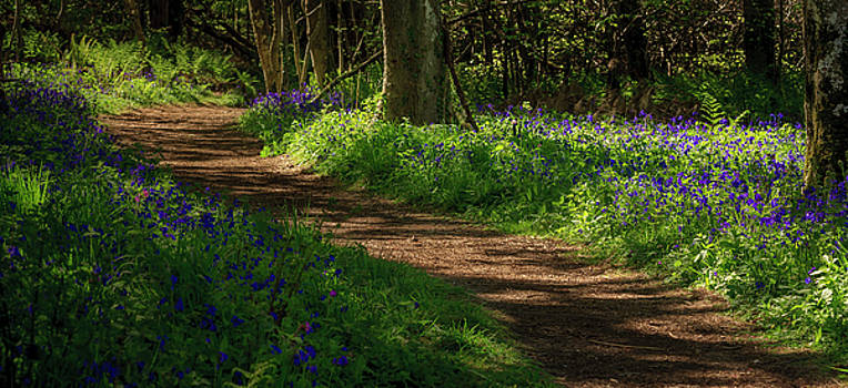 Woodland Path Lined by Bluebells by Alex Saunders