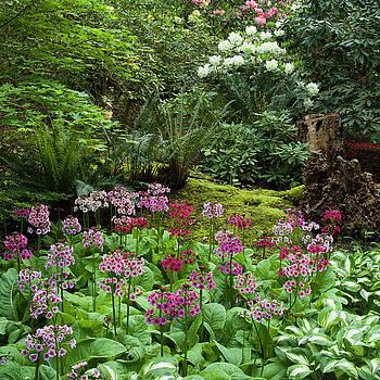 Woodland Primula by Adam Gibbs