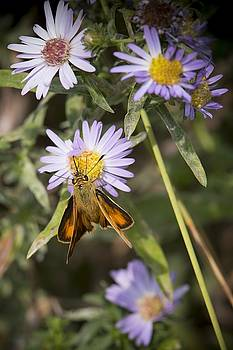 Woodland skipper by Martin Cooper