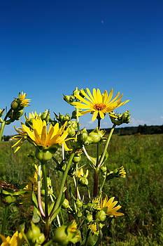 Woodland Sunflower by Amanda Kiplinger