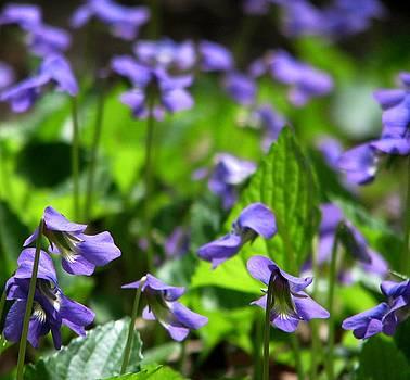Woodland Violets by Angela Davies