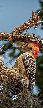 Woodpecker Closeup by Mike Covington