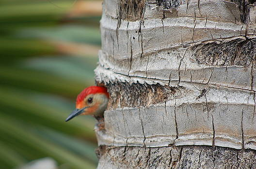 Woodpecker Coming Out Of Hole by Helen Gehle