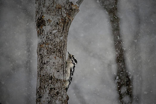 Woodpecker in Snowstorm by Angie Rea