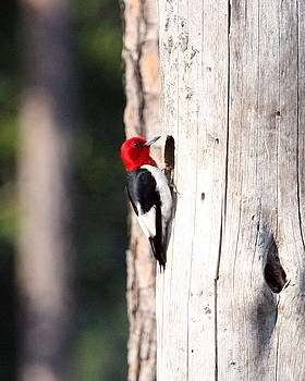 Woodpecker by Tali Stone