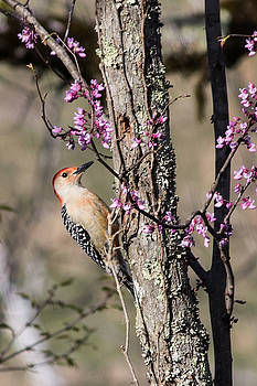 Lisa Lemmons-Powers - Woodpecker with redbud tree