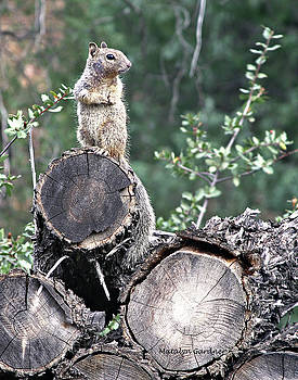 Woodpile Squirrel by Matalyn Gardner
