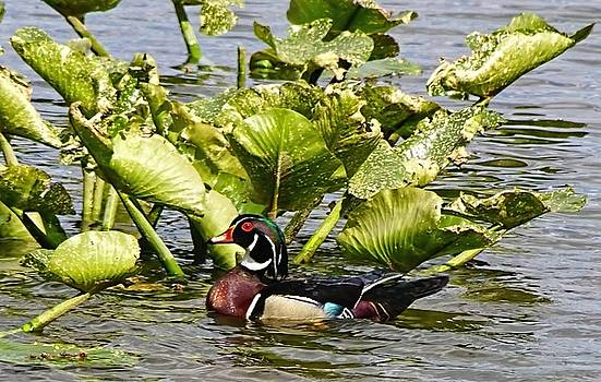 Woody The Wood Duck by Lanis Rossi