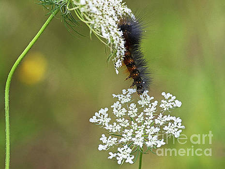 Woolly Bear.. by Nina Stavlund