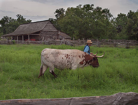 Working Farm Oxen by Joshua House