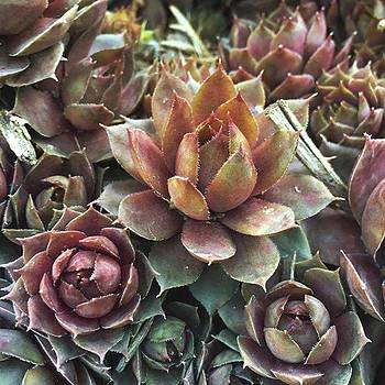 Succulents Hens And Chicks  by Phunny Phace