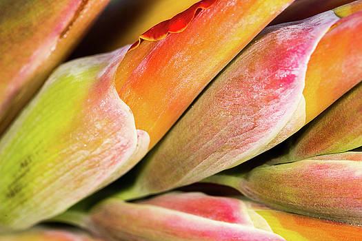 Wrapped Red Canna Flowers by SR Green